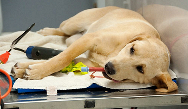 Is your dog safe under general anaesthesia?