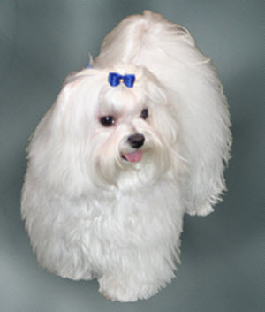 Maltese dogs are suspetable to Stomatitis