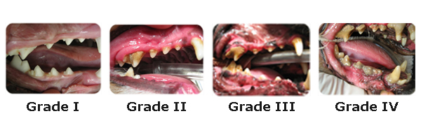 The four stages of Periodontal disease in dogs, known as the Silent Killer